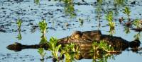 Salt water crocodile swimming in the Yellow Water Lagoon | Holly Van De Beek