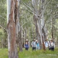 Walking through Eucalyptus forest
