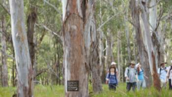 Walking through Eucalyptus forest