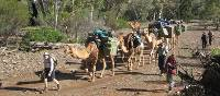Camel train in old creek bed