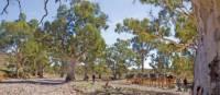 Crossing dry creek beds on the Remote Northern Flinders Camel Trek   Andrew Bain