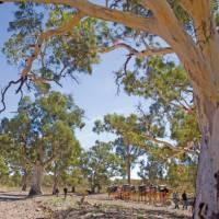 Crossing dry creek beds on the Remote Northern Flinders Camel Trek | Andrew Bain