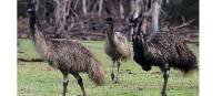 Emus at Inanna