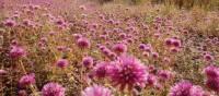 Blooming wildflowers in Karijini National Park