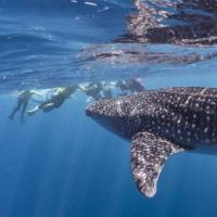 Snorkelling with whale sharks at Ningaloo Reef   Jake Parker