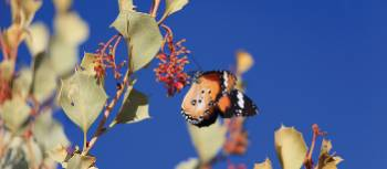 Butterfly lands on native Holly Grevillea | Ayla Rowe