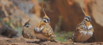 Spinifex pidgins on the Larapinta Trail | Earle Westbury